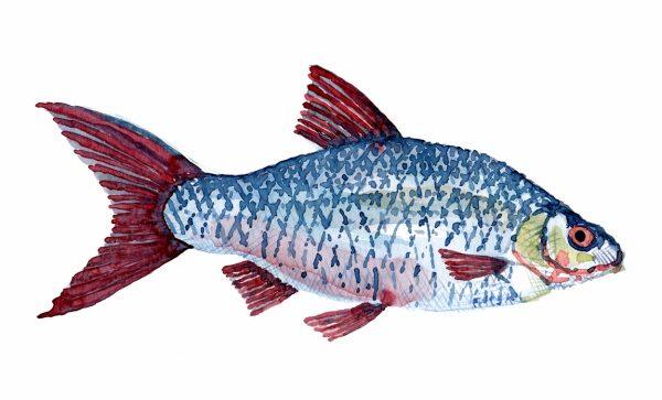 Akvarel af Skalle ferskvandsfisk